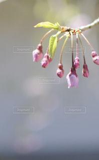 桜の蕾の写真・画像素材[1412697]