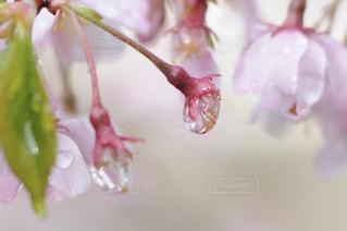 雨の桜の写真・画像素材[1412698]