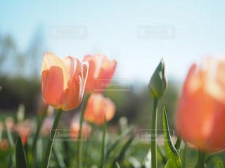 オレンジのチューリップの写真・画像素材[1416566]