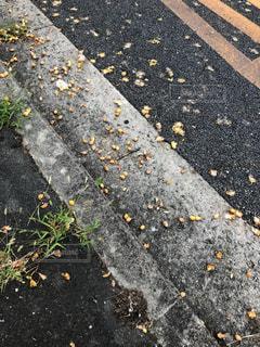 銀杏の実の写真・画像素材[1460328]
