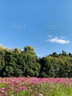 コスモス畑の写真・画像素材[1576352]