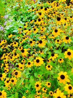 黄色の花をたくさんの写真・画像素材[1416268]