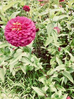 雑草の中に凛とした鮮やかなピンクの花の写真・画像素材[1416269]