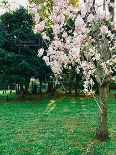 早咲きの桜の写真・画像素材[1420983]