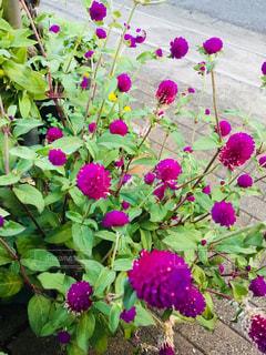 可愛い小さい紫の花の写真・画像素材[1485941]