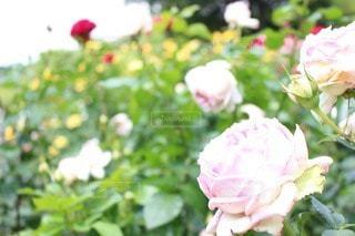 花の写真・画像素材[45024]