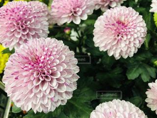 まん丸のポンポン菊の写真・画像素材[1553622]