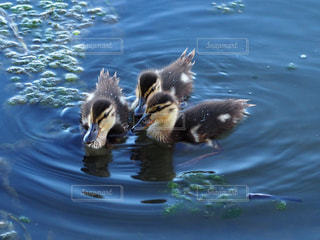 鴨の子供達の写真・画像素材[1423696]