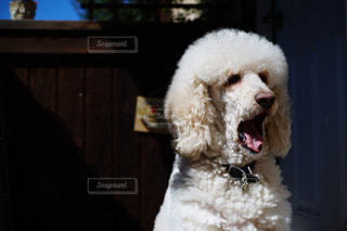 あくび犬の写真・画像素材[1875416]