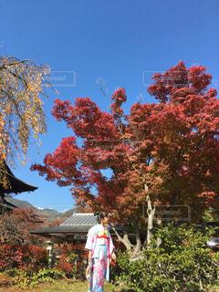 テレビ出演作品 善光寺の紅葉が映えた七五三の写真・画像素材[1595427]