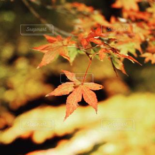 ムーミン谷の紅葉の写真・画像素材[2837776]