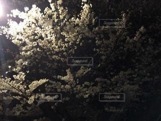 ひとり夜桜の写真・画像素材[1427529]