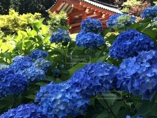 京都紫陽花編の写真・画像素材[1420074]
