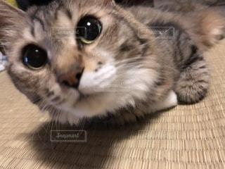 愛してやまないわたしの猫です😍の写真・画像素材[1424974]