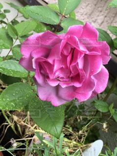 薔薇🌹🌹🌹の写真・画像素材[1428735]