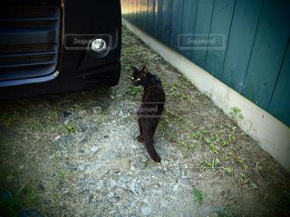 空き地で振り返る一匹の黒猫の写真・画像素材[1422644]