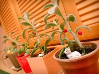 多肉植物の鉢植えの写真・画像素材[3863558]