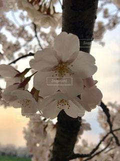 夕日桜の写真・画像素材[1422643]