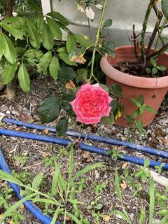 薔薇の写真・画像素材[1423329]