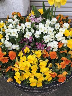 鉢植えの花の写真・画像素材[2263765]