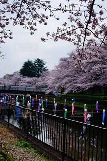 桜と鯉のぼりの写真・画像素材[1450346]