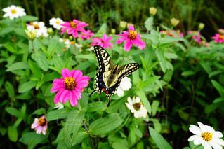 花と蝶の写真・画像素材[1462310]