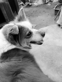 愛犬の写真・画像素材[1461615]