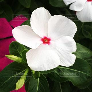 植物の白い花の写真・画像素材[1432928]