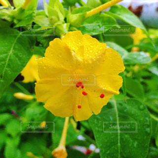 黄色の花の写真・画像素材[1493556]