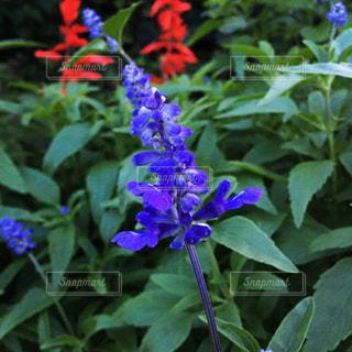 紫の花の写真・画像素材[1493560]
