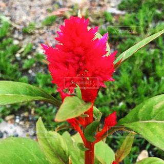 緑の葉と赤い花の写真・画像素材[1510575]