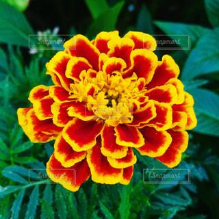近くの花のアップの写真・画像素材[1521688]