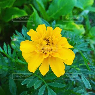 緑の葉と黄色の花の写真・画像素材[1521689]