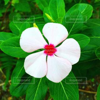 緑の葉と白い花の写真・画像素材[1521690]