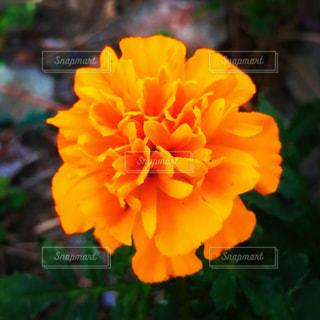 オレンジの花のアップの写真・画像素材[1521691]