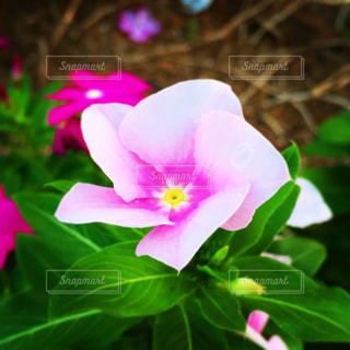 薄ピンクの花のアップの写真・画像素材[1523993]