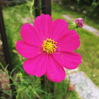 ピンクの花のアップの写真・画像素材[1527771]