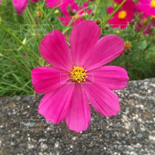 ピンクの花の写真・画像素材[1527773]