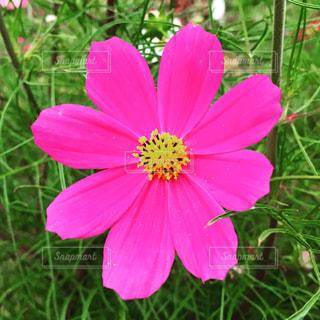 ピンクの花のアップの写真・画像素材[1527779]