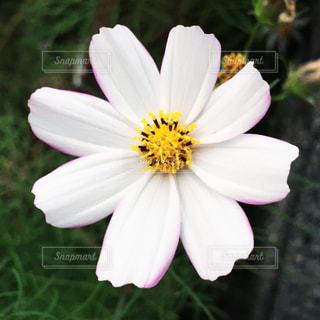 植物の白い花の写真・画像素材[1527781]