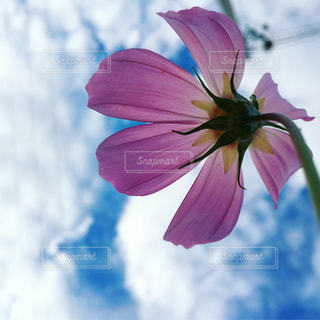 ピンクの花と空の写真・画像素材[1603268]