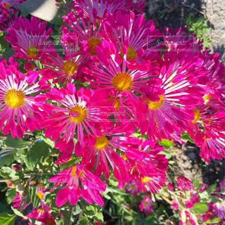たくさんのマゼンタの花の写真・画像素材[1603270]
