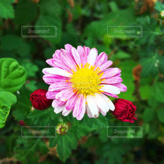ピンクの花のアップの写真・画像素材[1603272]