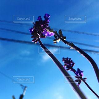空と紫の花の写真・画像素材[1624178]