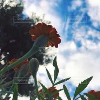 空と木とオレンジ色の花の写真・画像素材[1624180]