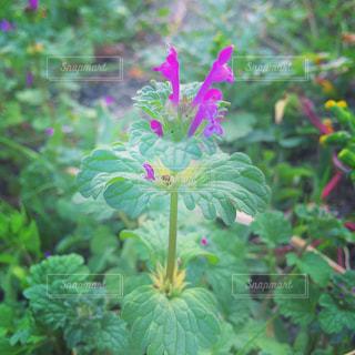 紫の花の写真・画像素材[1659876]