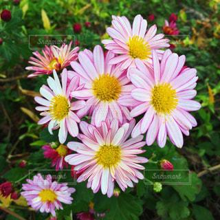 黄色とピンクの花の写真・画像素材[1670337]