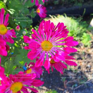 近くのピンクの花のアップの写真・画像素材[1670339]