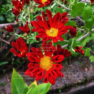 赤い花の写真・画像素材[1677214]