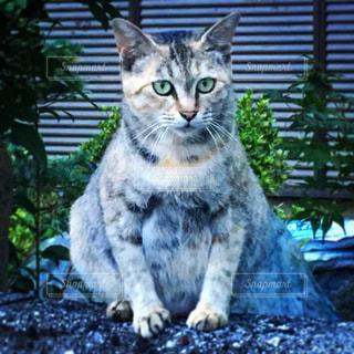 塀の上に座っている猫の写真・画像素材[1686558]